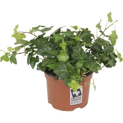 Zimmerpflanzen landi for Shop zimmerpflanzen