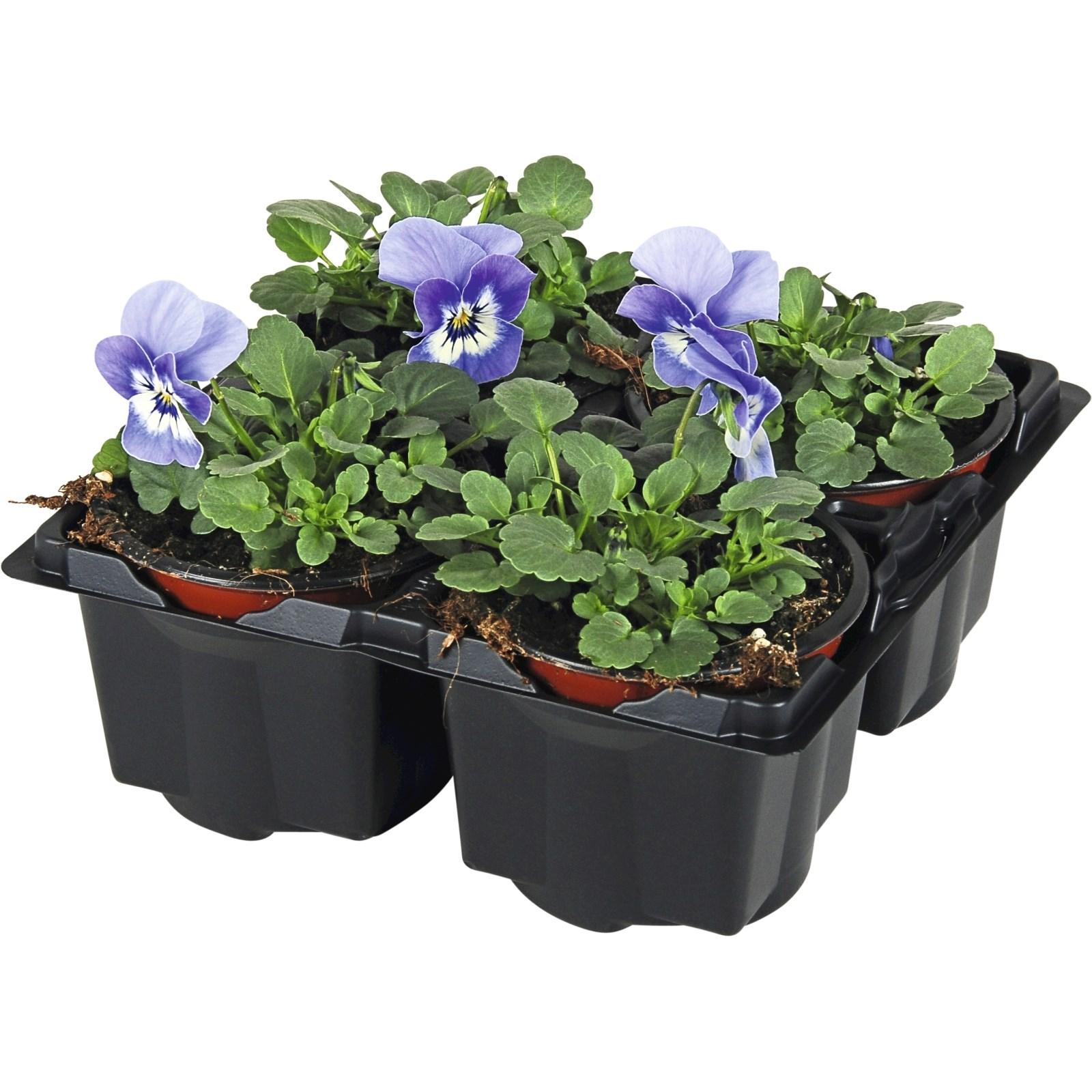 Viola Cornuta Blautone 4er Set Einjahrige Beet U Balkonpflanzen