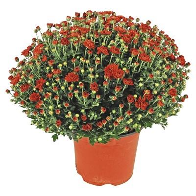 Chrysanthemen Mums P19 cm