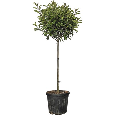 Photinia Red Rob.1/2 Stamm 25l