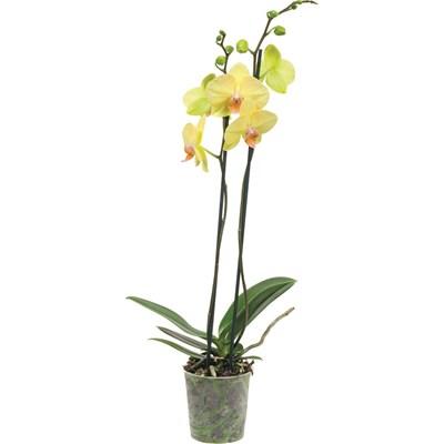 Phalaenopsis 2 Rispen P12 cm