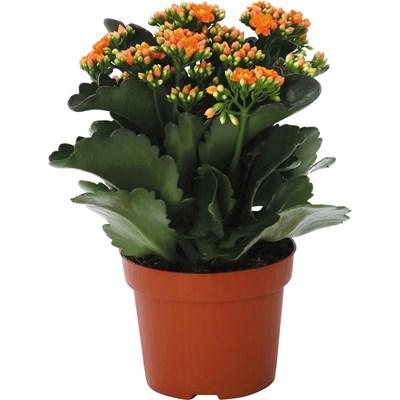 Zimmerpflanzen Bilder zimmerpflanzen landi