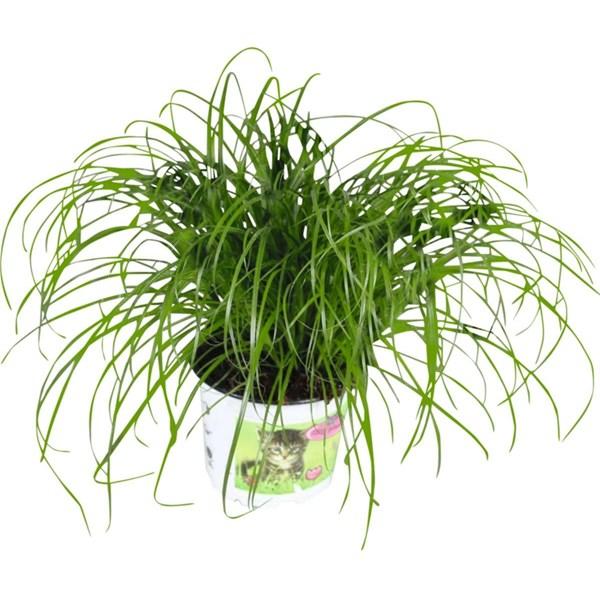 Katzengras p12 cm zimmerpflanzen landi for Shop zimmerpflanzen