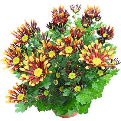Chrysanthemum doppelfarb.Mix P14 cm