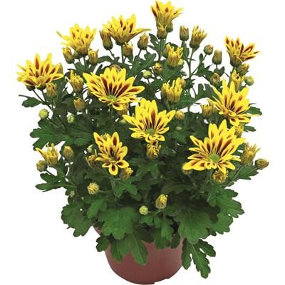 Chrysanthemum doppelfarb.Mix P14 cm