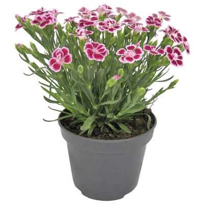 Dianthus Mix P12 cm