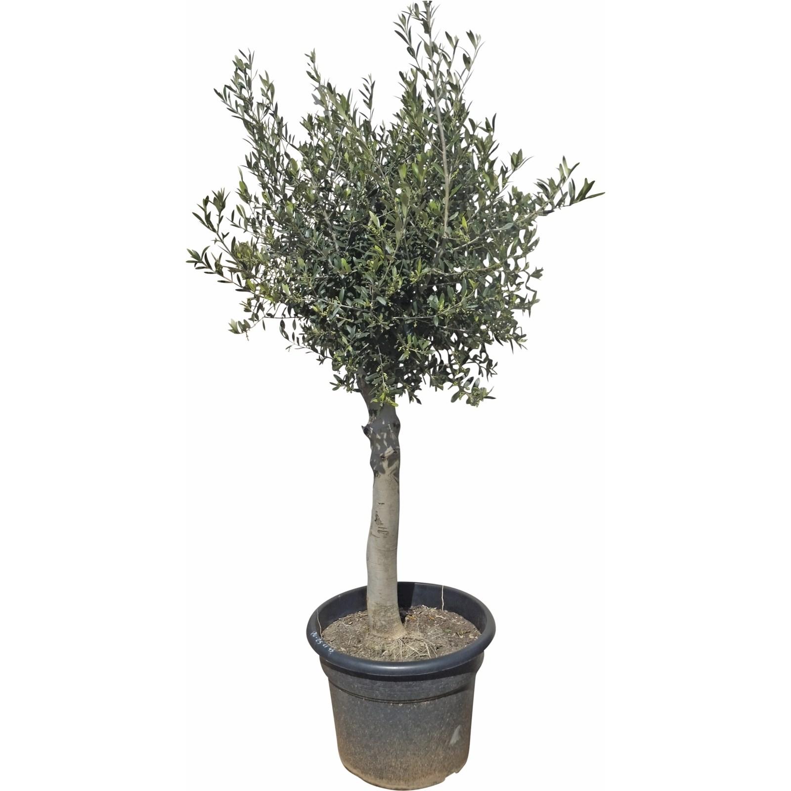 Sehr Olivenbaum Solitär P35 l - Mediterrane Pflanzen - LANDI NL04