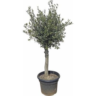 Mediterrane Pflanzen - LANDI