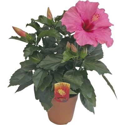 Hibiscus Longlife P13 cm