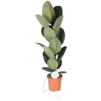 Grünpflanzen Mix P24 cm