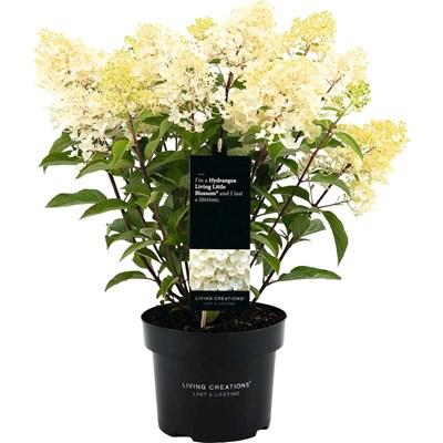 Hydrangea Paniculata P23 cm