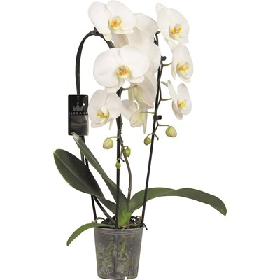 Phalaenopsis Cascade P12 cm