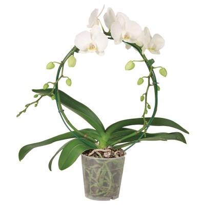 Phalaenopsis 2 Rispen am Bogen P12 cm