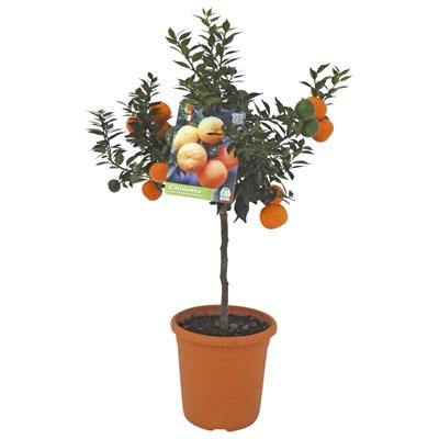 Citrus Ministamm P20 cm