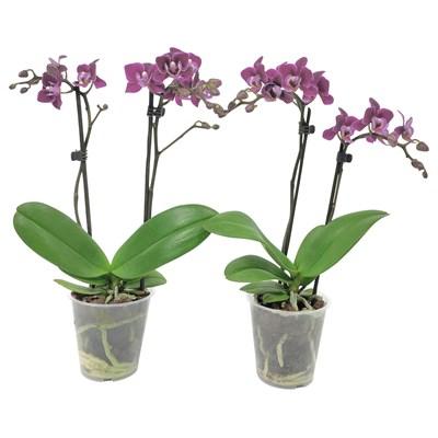 Phalaenopsis 2 Rispen P9 cm
