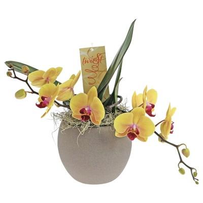 Phalaenopsis Twister P15 cm