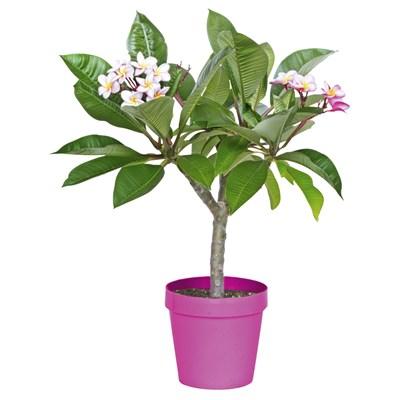 Plumeria rubra P20 cm