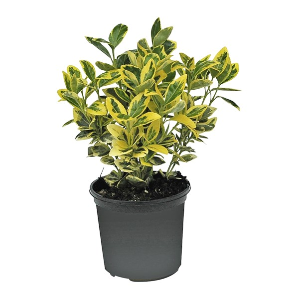 Euonymus for Emerald gold P13 cm