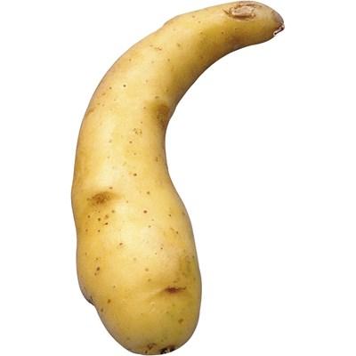 Saatkartoffeln EU Ratte 2,5 kg