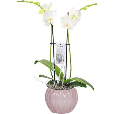 Phalaenopsis Lynn P17 cm