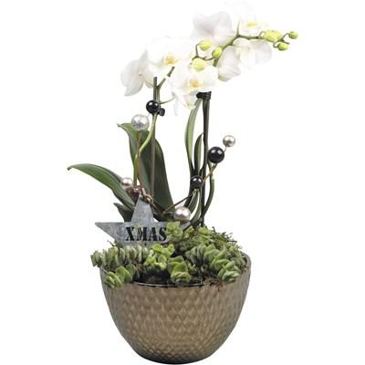 Arrangement Phalaenopsis P16 cm