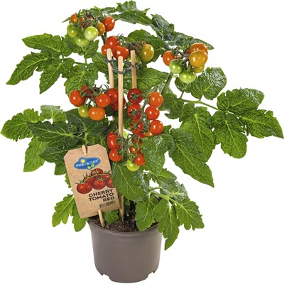 Cherrytomaten P14 cm