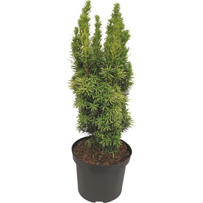 Taxus baccata Rob. Mix P29 cm