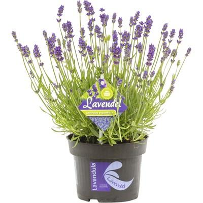 Lavendel Hidcote blue P13 cm