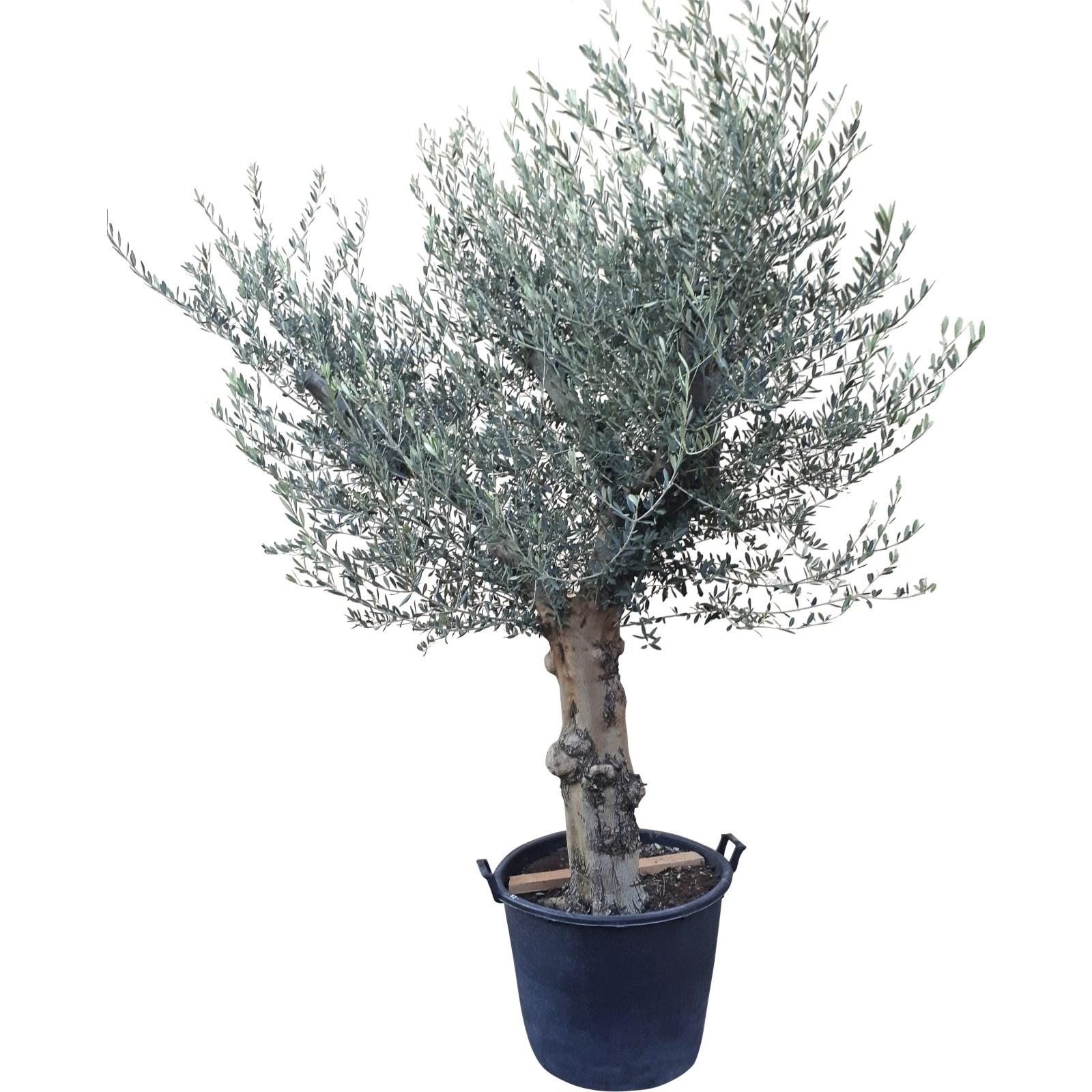 Extrem Olivenbaum XL P160 l - Mediterrane Pflanzen - LANDI MN25