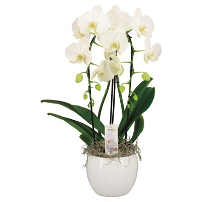 Phalaenopsis Cascade im UT P17 cm