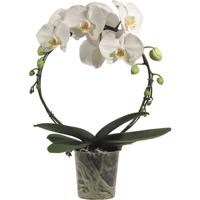 Phalaenopsis am Bogen Spez. P12 cm