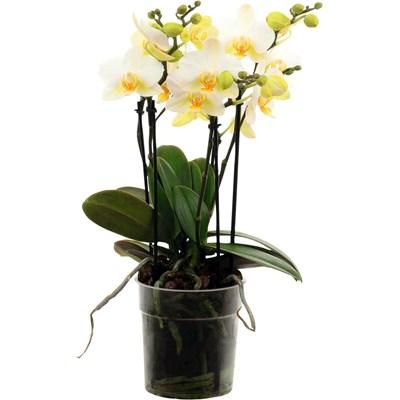 Phalaenopsis Bouquetto P12 cm