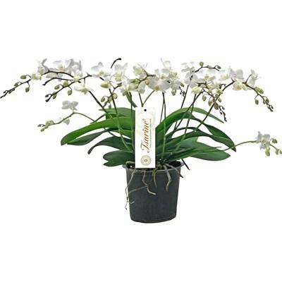 Phalaenopsis Princessa 5+Ri. P15 cm