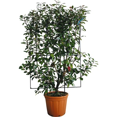 Photinia Red Rob. Spalier 120x80 P25 l