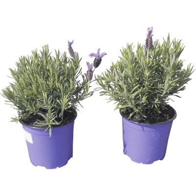 Lavendel Stoechas Busch P14 cm