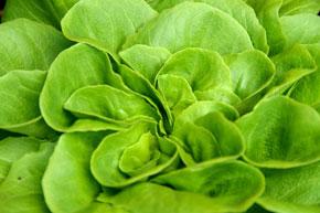 Perfekter Salatgarten